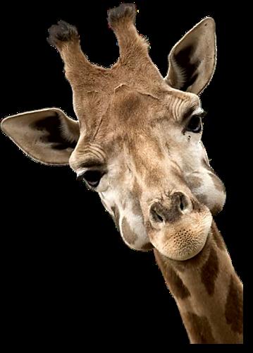 Photo girafe rigolote - Girafe rigolote ...